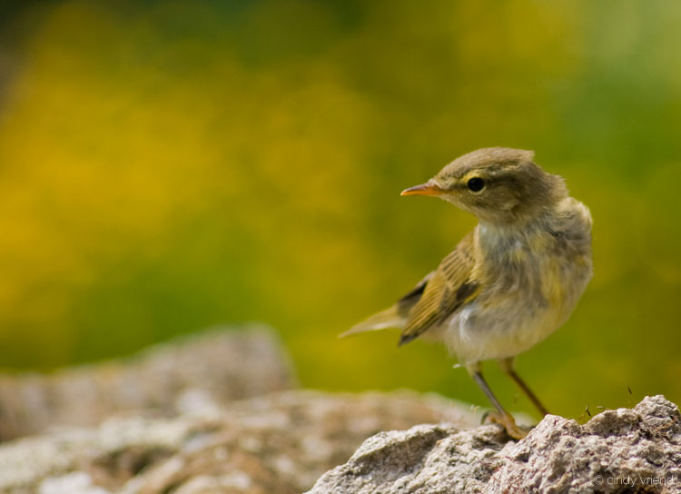 Image of Willow Warbler